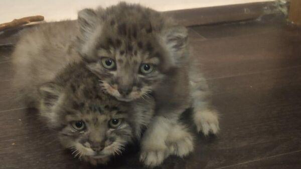 Котята манула, спасенные сотрудниками этнографического музея Улан-Удэ