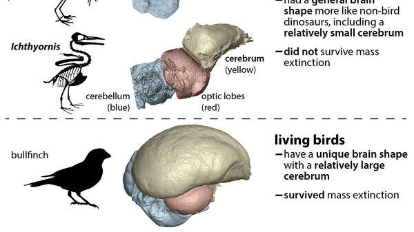 У современных птиц (внизу) относительный размер мозга значительно больше, чем у их предков - археоптерикса и ихтиорниса