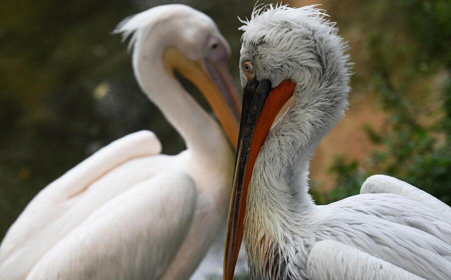 Кудрявый (справа) и розовый пеликаны