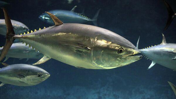 Тихоокеанский голубой тунец (Thunnus orientalis)