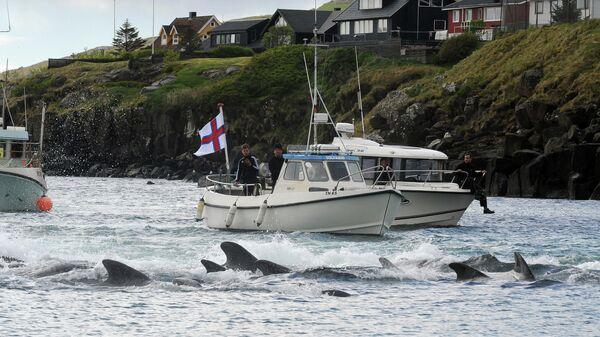 Охота на китов на Фарерских островах