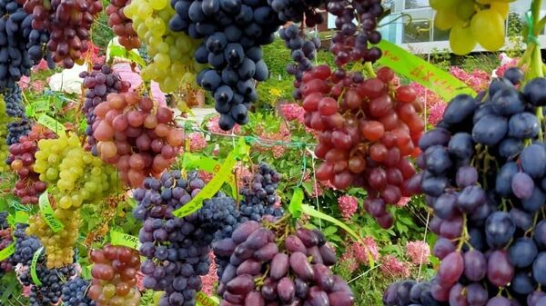В Аптекарском огороде в Москве проходит выставка винограда с дегустацией
