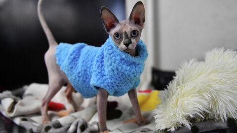 Кошка породы сфинкс на выставке КоШарики Шоу в Москве