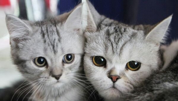 Международная выставка кошек в Бишкеке