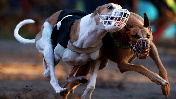Собачьи бега в Чили