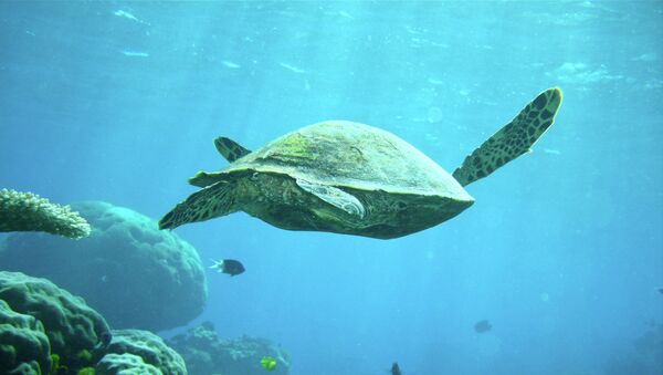 Черепаха на Большом Барьерном рифе. Архивное фото