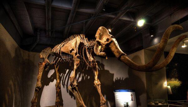 Скелет мамонта в музее. Архивное фото