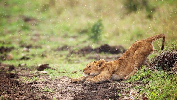 Львенок в заповеднике Масаи-Мара, Кения