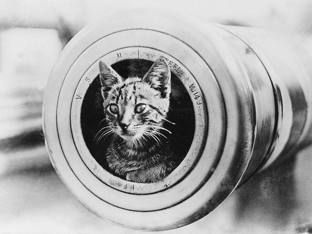Кошка выглядывает из дула 6-дюймового орудия во время Первой мировой войны