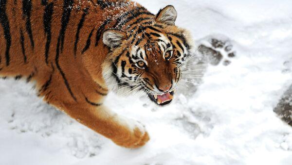Тигр. Архивное фото