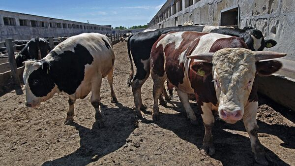 Животноводческий комплекс по откорму крупного рогатого скота