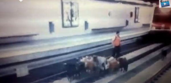Ни проехать, ни пройти: стадо коз перегородило путь поезду
