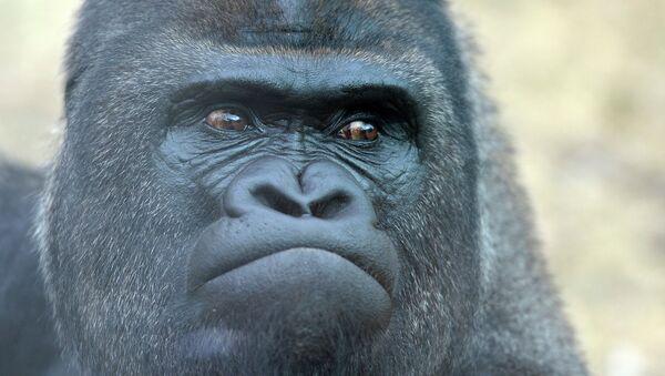 Западная равнинная горилла в Московском зоопарке. Архивное фото