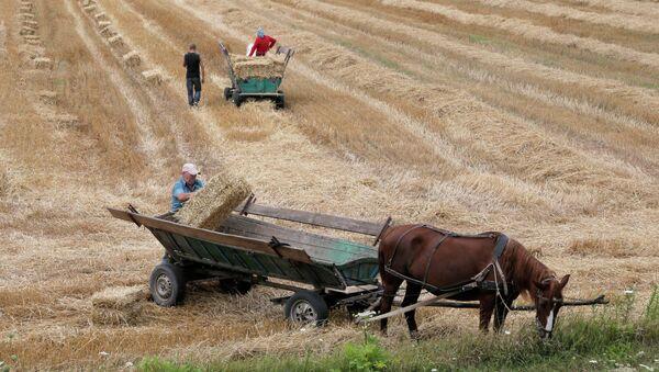 Крестьяне грузят сено на телеги запряженные лошадьми в полях под селом Броды, Украина