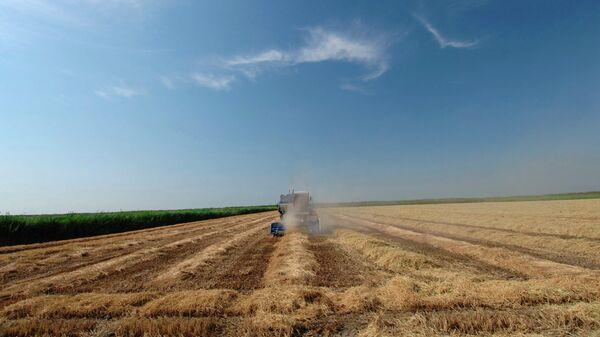 Комбайн, убирающий рис с поля на Кубани