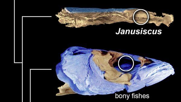 Череп древней сибирской рыбой по сравнению с другими группами современных и вымерших рыб