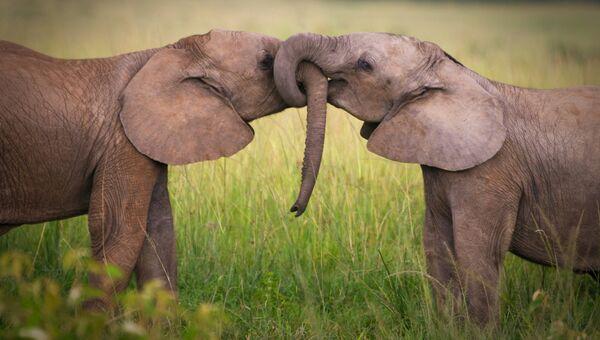 Пара слонов. Архивное фото