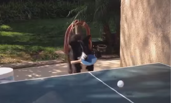 Пинг-понг по собачьи