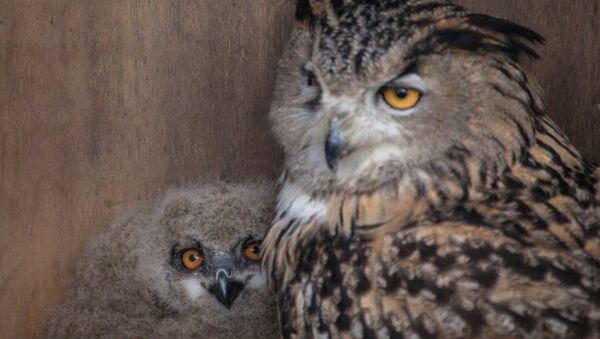 У пары филинов из Московского зоопарка появился детеныш. Архивное фото