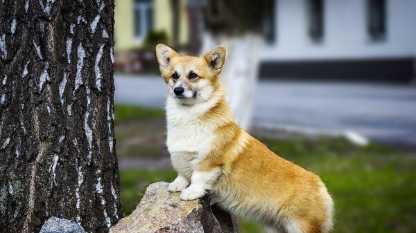 Собака породы вельш корги пемброк