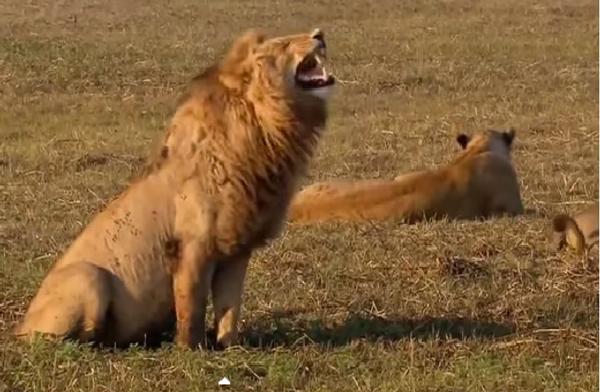 Льву ну очень смешно! Или Чем бы пользователи YouTube ни тешились