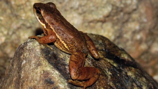 Необычная лягушка из Бразилии строит дома на дне рек для занятий сексом