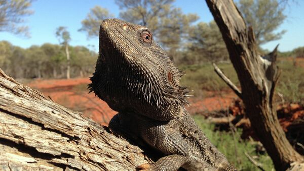 Австралийская бородатая агама
