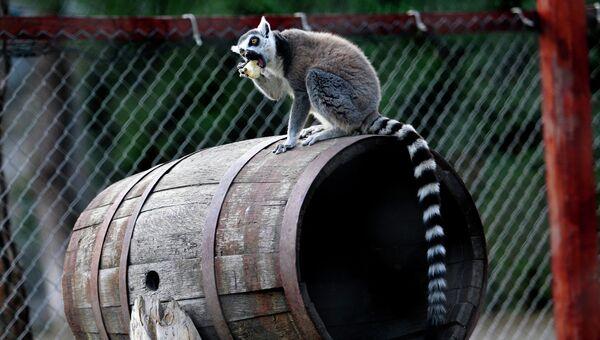Лемур в зоопарке Тбилиси, Грузия. Архивное фото
