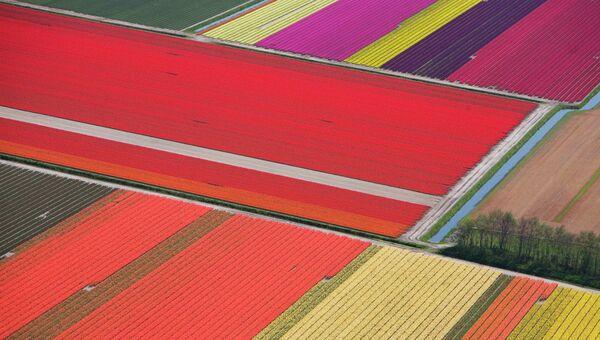 Тюльпановые поля фермы по выращиванию цветов в Нидерландах. Архивное фото