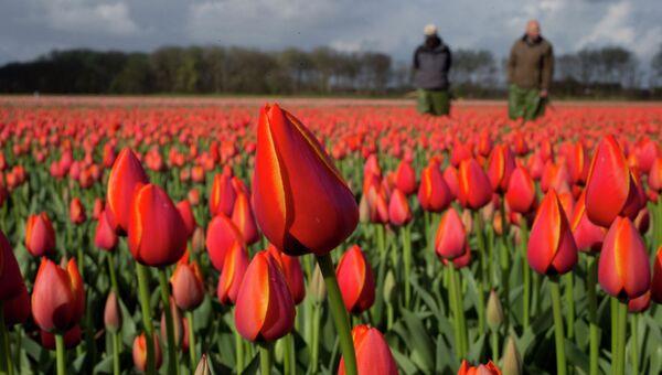 Голландские фермеры на цветочном поле. Архивное фото