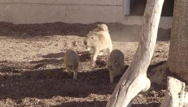 Маленькие капибара резвятся в зоопарке Сан-Диего