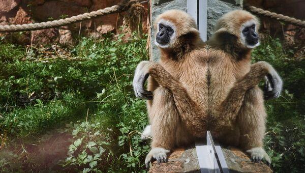 Белорукий гиббон в Ленинградском зоопарке