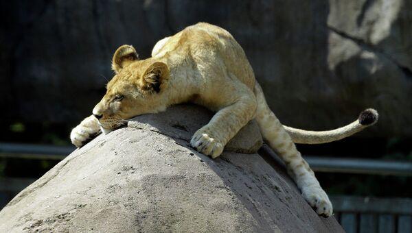 Львенок в зоопарке Орегона. Архивное фото