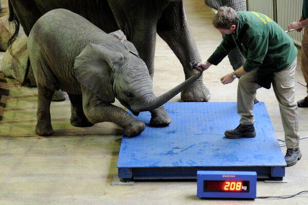 Сотрудник зоопарка пытается заставить слоненка Ули встать на весы в зоопарке Вупперталя, Германия