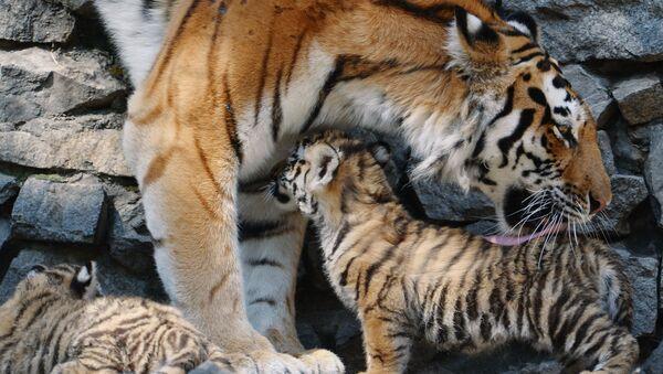 Амурская тигрица Лапа со своими детенышами. Архивное фото