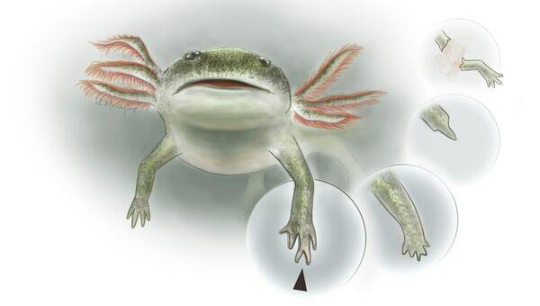 Так художник представил себе древнюю амфибию вида  Micromelerpeton credneri, умевшую регенерировать конечности