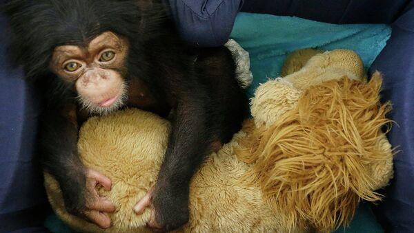 Шимпанзе в зоологическом парке Аттика в Греции. Архивное фото
