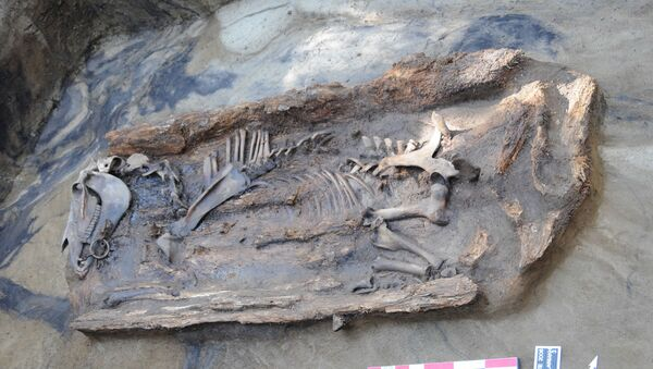 Скелет и останки древней лошади, найденной на Таймыре