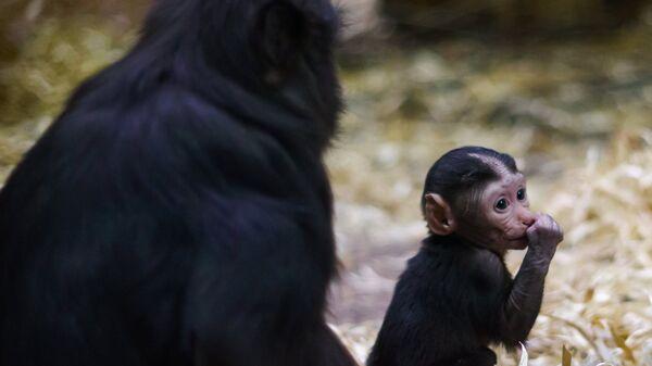 Самка редкого вида черной макаки со своим новорожденным детенышем в Ленинградском зоопарке