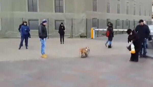 Бульдог-скейтер устроил новогодний заезд