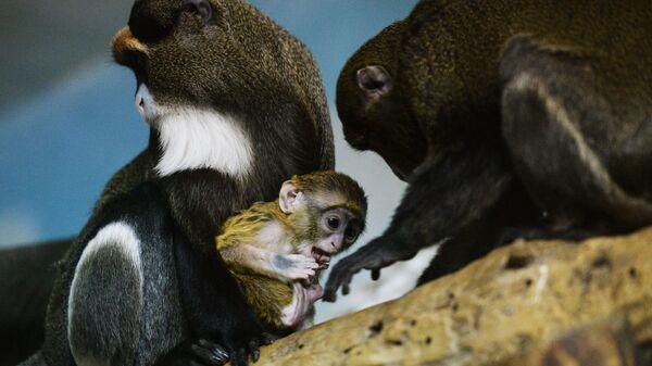 Мартышки Бразза с детенышем в вольере Новосибирского зоопарка