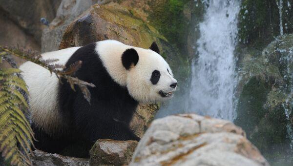 Панда в зоопарке. Архивное фото