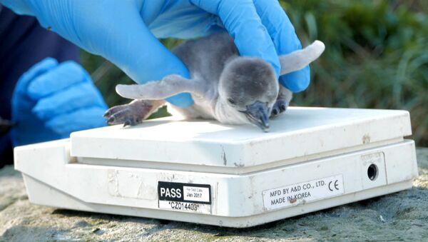 Первые шаги и взвешивание новорожденного пингвиненка в Великобритании