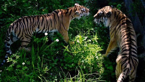 Амурские тигры Амур и Уссури во время Медовой недели в Приморском сафари-парке. Архивное фото