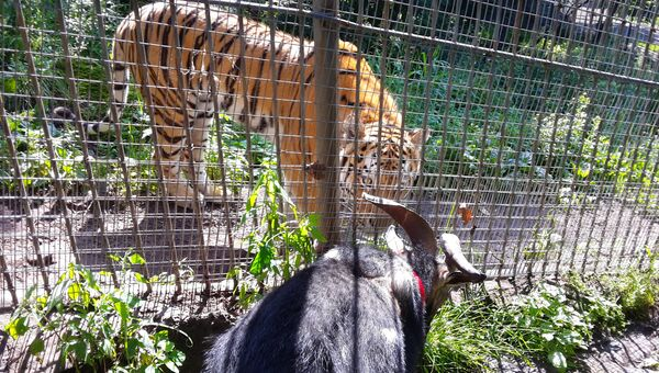 Козёл Тимур и тигр Амур в Приморском Сафари-парке