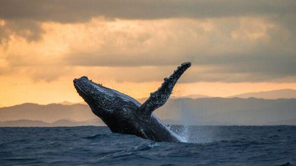 Прыжок горбатого кита над водой