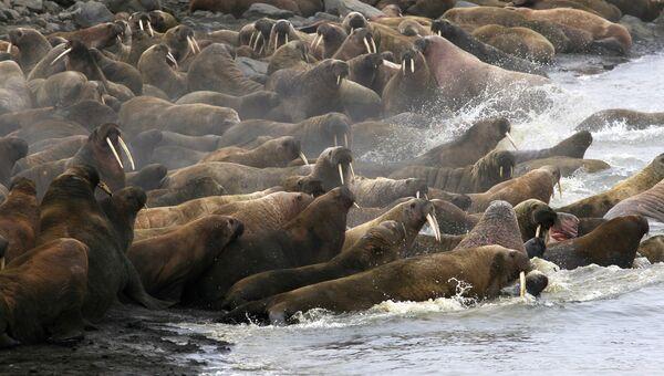 Лежбище моржей на острове Мертвого тюленя, Земля Франца-Иосифа, национальный парк Русская Арктика