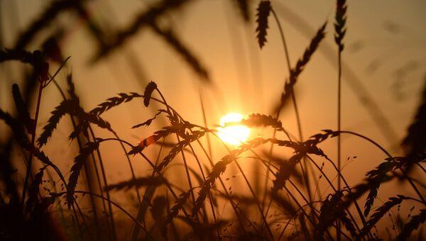 Уборка урожая зерновых. Архивное фото