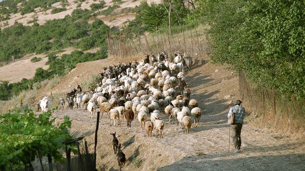 Пастух выгоняет отару овец на пастбище