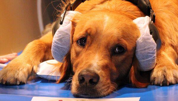 Собака по кличке Барак внутри томографа